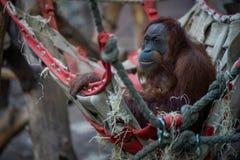 Orang-outan avec le bébé dans le zoo de Francfort photos stock
