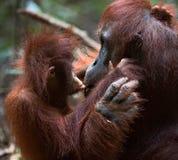 Orang-outan avec un petit animal Images stock