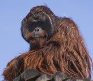 Orang-outan contemplatif au zoo de parc du ` s Lowry de Tampa Images stock