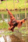 Orang outan crossing water pool royalty free stock photography