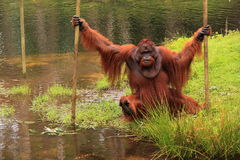 Orang outan crossing water pool. Male orang outan crossing a water pool in the dutch zoo apenheul, the netherlands Royalty Free Stock Photo