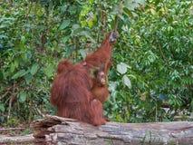 Orang-outan curieux d'enfant jetant un coup d'oeil de dessous l'épaule de sa mère, sur un tronçon (Indonésie) Photo stock