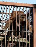 Orang-outan dans la cage images stock