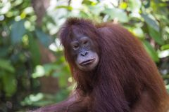 Orang-outan dans la forêt de Kalimantan photo stock