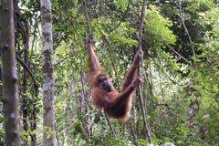 Orang-outan dans la jungle sumatra image libre de droits