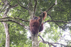 Orang-outan dans la jungle sumatra images stock