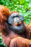 Orang-outan dans le tanjung de Kalimantan mettant le parc national Indonésie Photographie stock libre de droits