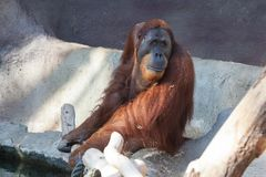 Orang-outan dans le zoo de Prague photo libre de droits