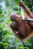 Orang-outan de bébé Images stock