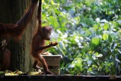 Orang-outan de bébé et sa maman dans la forêt tropicale photo libre de droits