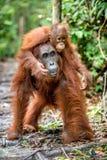 Orang-outan de bébé sur le dos du ` s de mère dans un habitat naturel Image stock