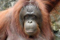 Orang-outan de Bornean (pygmaeus de Pongo) Photos stock