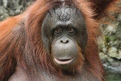 Orang-outan de Bornean (pygmaeus de Pongo) Image libre de droits