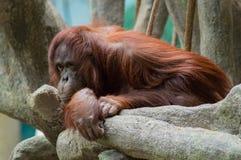Orang-outan de Bornean (pygmaeus de Pongo) Image stock