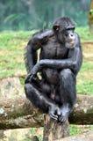 Orang-outan de faune Images libres de droits