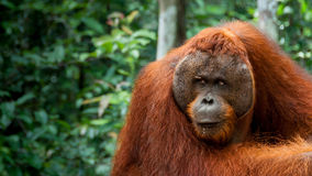 Orang-outan de mâle alpha au Bornéo photo libre de droits