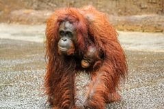 Orang-outan de mère marchant portant un bébé très mignon photos libres de droits