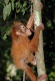 Orang-outan de Sumatran de chéri Photos stock