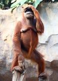 Orang-outan debout Utan Photo libre de droits