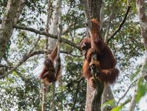 Orang-outan deux accrochant sur les arbres avec leurs mains fortes Image stock