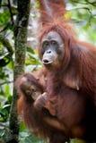 Orang-outan et orang-outan de bébé Photo stock