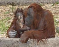 Orang-outan et mère de chéri Images stock