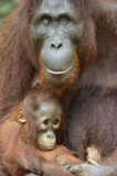 Orang-outan et petit animal de mère Photos stock