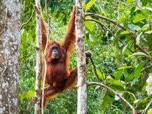 Orang-outan femelle du Bornéo à la réserve naturelle de Semenggoh, Kuching Photographie stock libre de droits