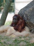 Orang-outan femelle se reposant tranquillement Photo stock