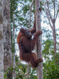 Orang-outan grimpant à un arbre sur leurs pattes fortes dans les jungles de l'Indonésie Photo libre de droits
