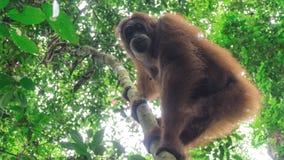 Orang-outan heureux sauvage s'élevant vers le bas de l'arbre Images stock
