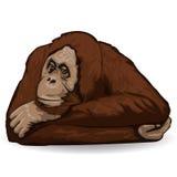 Orang-outan La singe réfléchie se trouve support avec les mains pliées derrière sa tête Photos libres de droits