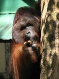 Orang-outan mangeant la noix de coco photographie stock libre de droits