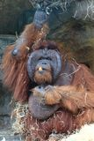 orang-outan mangeant le légume Photo libre de droits