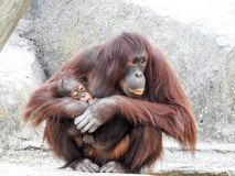 Orang-outan Mother& de succion x27 de bébé ; pouce de s tout en étant tenu en zoo de Lowry, Tampa Photographie stock