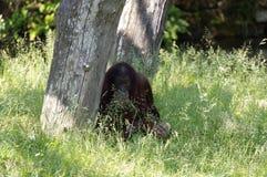 Orang-outan-oetan Images libres de droits