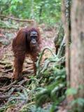 Orang-outan orange se tenant sur tous les fours sur un fond en bois Photo stock