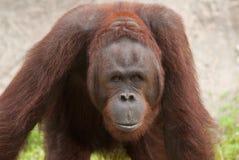 Orang-outan (pygmaeus de Pongo) Photographie stock libre de droits