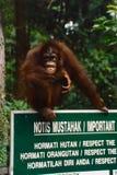 Orang-outan riant photos libres de droits