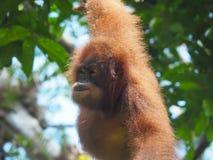 Orang-outan sauvage en Malaisie, tir de faune Images stock