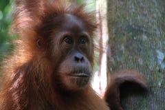 Orang-outan sauvage Utan dans la jungle image stock