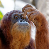 Orang-outan se grattant le visage Photos libres de droits