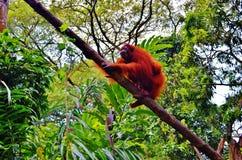 Orang-outan Utan Image libre de droits