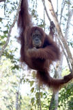 Orang-outan utan, abelii de Pongo Photo stock