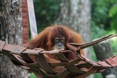 Orang-outan utan au negara de zoo Photographie stock libre de droits
