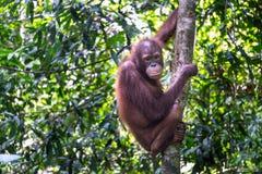 Orang-outan Utan dans la forêt tropicale tropicale Photos stock