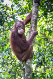 Orang-outan Utan dans la forêt tropicale tropicale Photographie stock