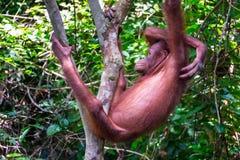 Orang-outan Utan dans la forêt tropicale tropicale Images stock