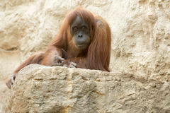 Orang-outan Utan - orangutang Photographie stock libre de droits