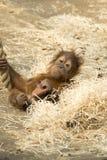 Orang-outan Utan - orangutang de bébé Images libres de droits